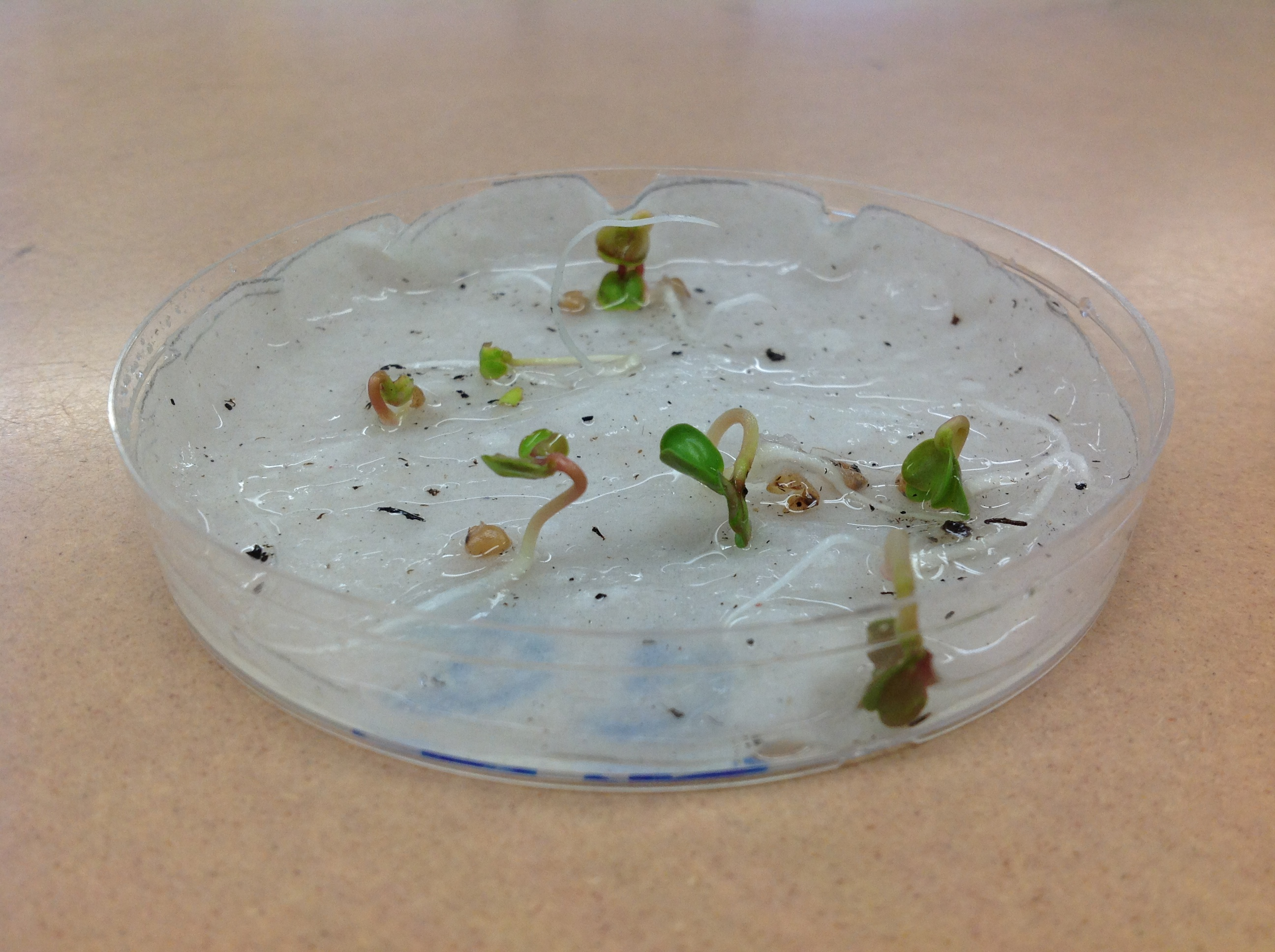lab report on radish seeds germinated in light Energy to produce a sprout during germination conversely, seeds of species that germinate today's lab, your team will b light environment.